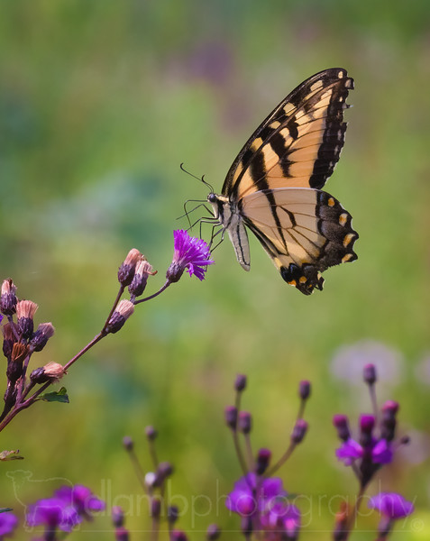 Swallowtail Butterfly Feeding on Tall Ironweed