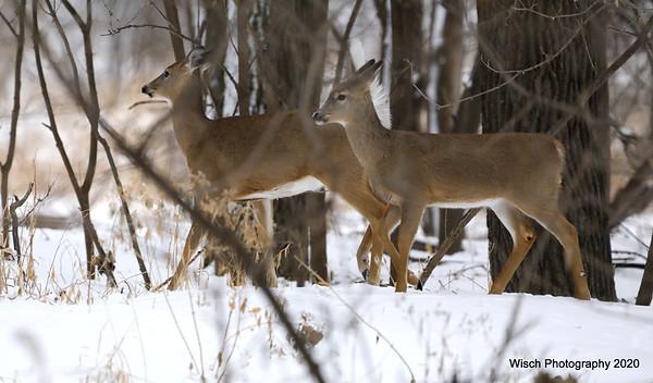 Redtail Hawk, Deer & Swans Dec 2020