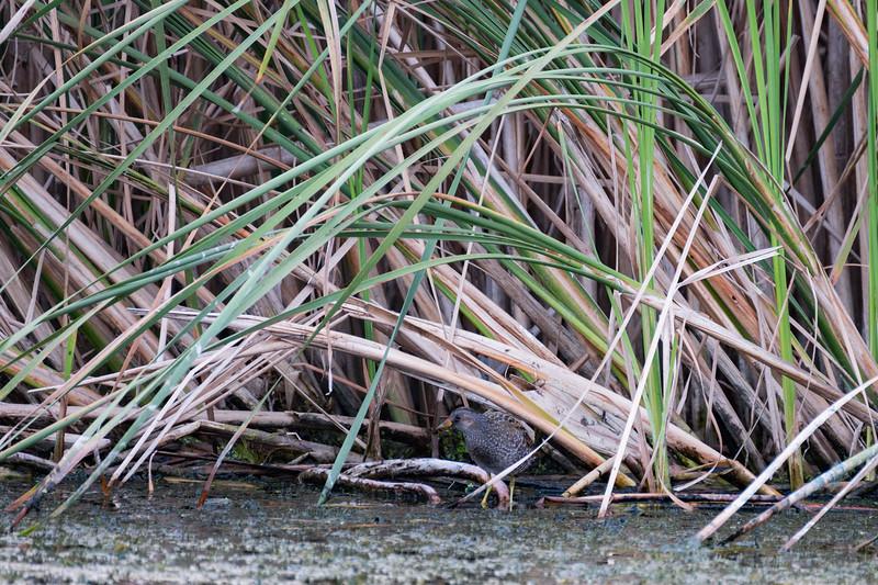 kropiatka | spotted crake | porzana porzana