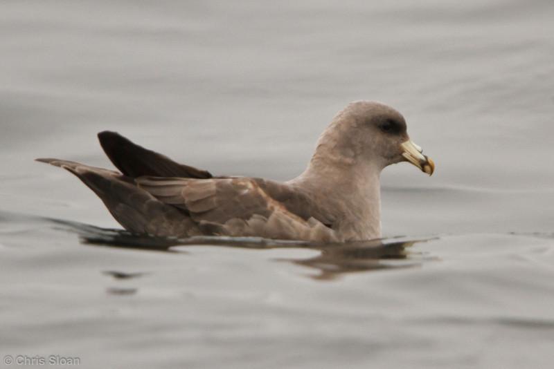 Northern Fulmar at pelagic out of Bodega Bay, CA (10-15-2011) - 862.jpg