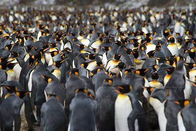 King Penguin Rookery. Fortuna Bay, South Georgia Island.