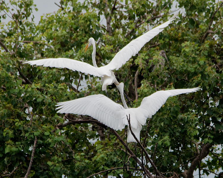 Great Egrets acting badly.jpg