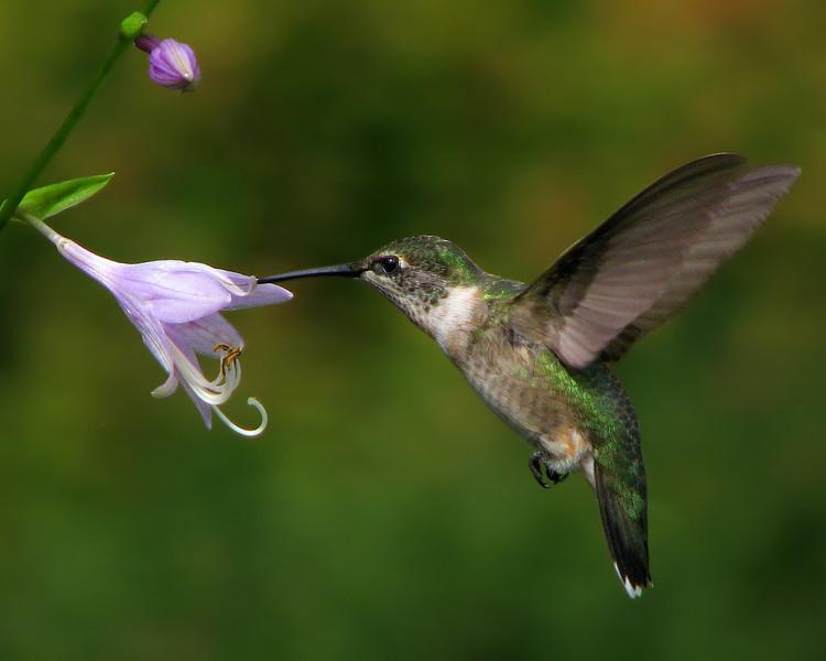 hummingbird_10x8_1267.jpg