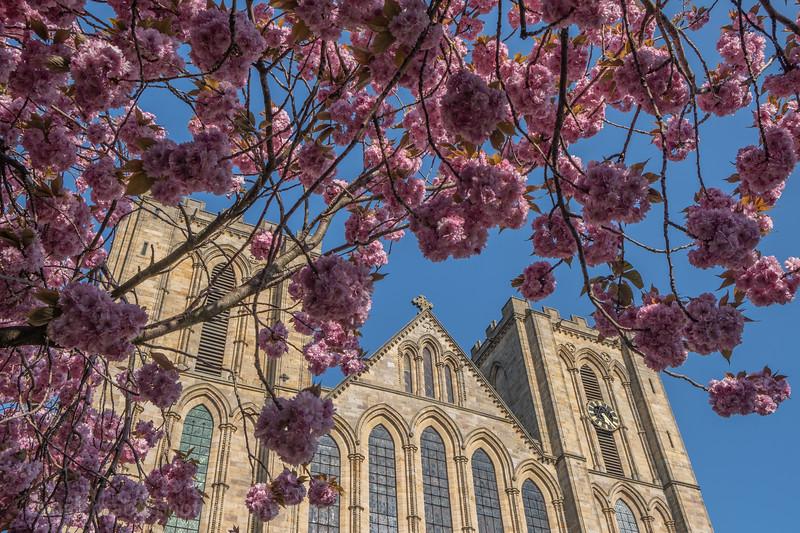 Ripon Cathedral & cherry blossom-64.jpg