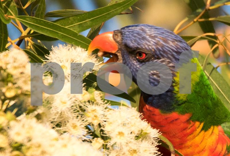 Cronulla parrots 9.jpg