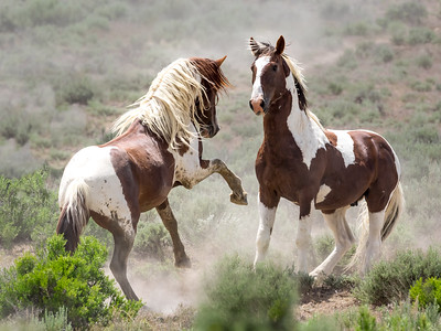 Wild Stallions Posturing and Battling