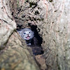 A gray kitten hides in in tree cavity for protection