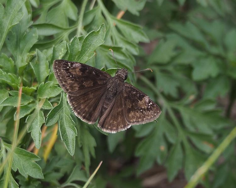 Wild Indigo Duskywing, male