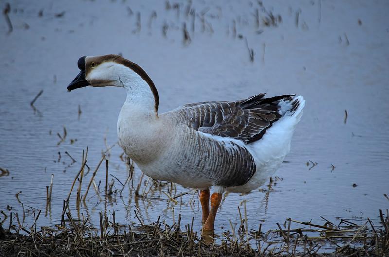wildlife - chinese goose(p).jpg