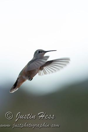 Hummingbird 09-01-2015