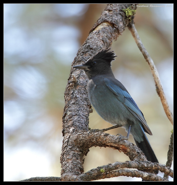 Steller's Jay, Cuyamaca Rancho State Park, San Diego County, California, October 2010