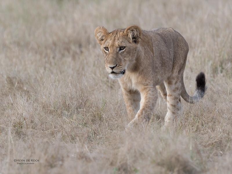 African Lion, Savuti, Chobe NP, Botswana, May 2017-24.jpg