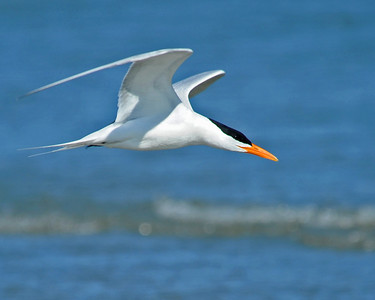 Royal Terns, Kiawah