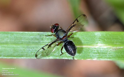Miscellaneous Flies