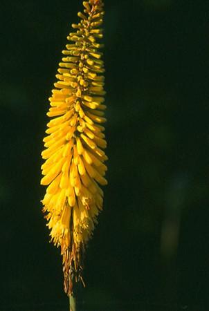 Kniphofia 'Sunningdale Yellow' .jpg