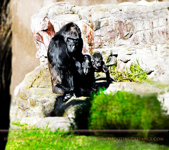 Mama Nneka and five-month-old Kabibe at San Francisco Zoo