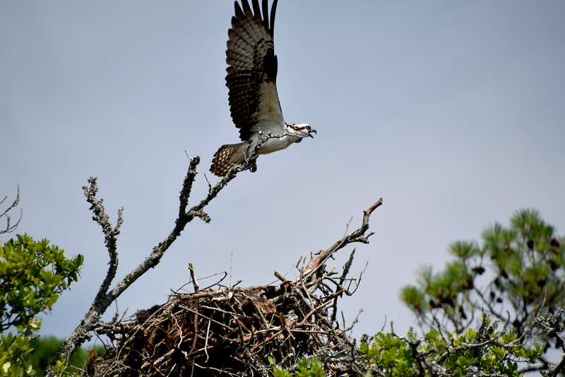 Osprey11-North-Carolina-Outer-banks.jpg