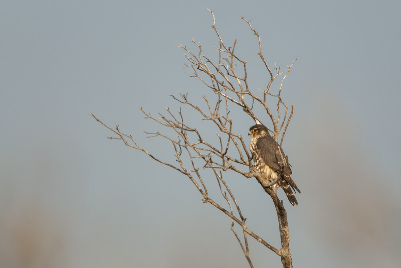Northern Harrier Perched Two.jpg