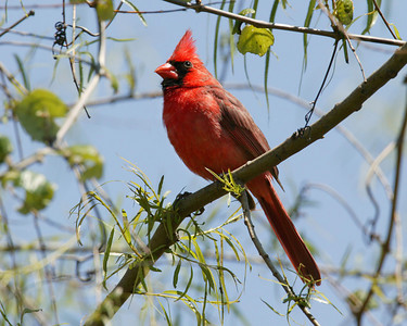 Tanager, Cardinals, Grosbeaks, Buntings, Waxwings