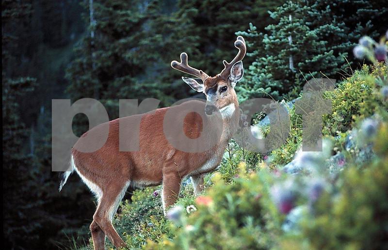 Blacktail buck1.jpg