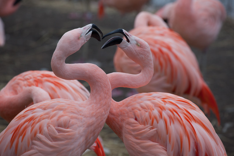 A squabble breaks out between two Chilean flamingos at the zoo.