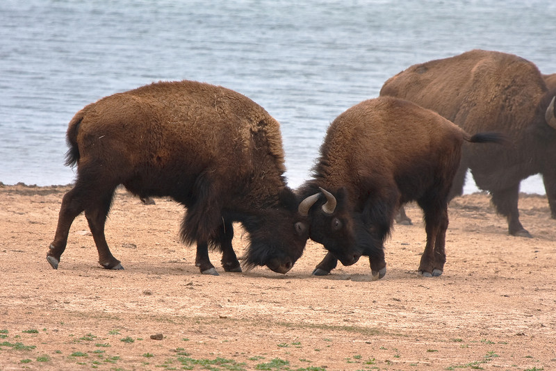 American Bison-6