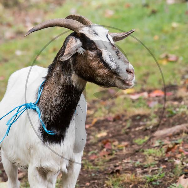 Goats-93.jpg