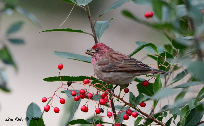 Purple Finch - 12/28/2014 - Woods Valley Campground, Escondido CBC