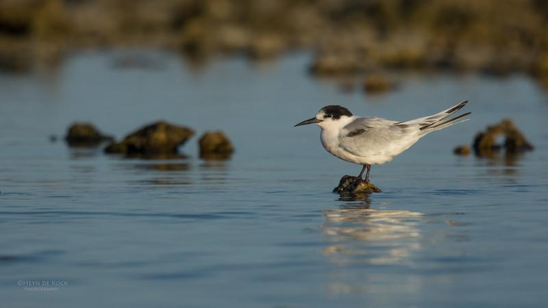 Roseate Tern, Lady Elliot Island, QLD, Dec 2015-3.jpg