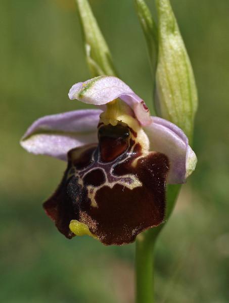 O. gracilis Borgo Celano 19-05-11 (21).jpg