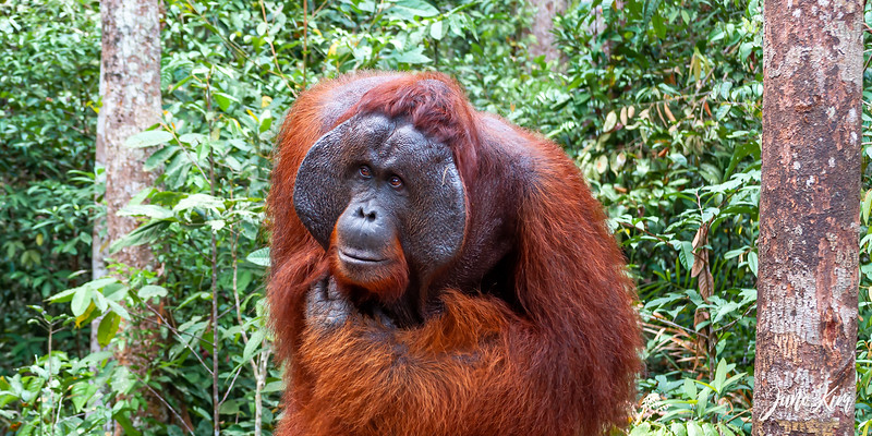 Doyok is a dominant male orangutan