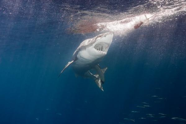 sharks_3