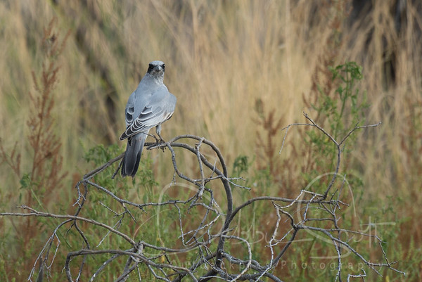 Cuckoo-shrikes, Trillers
