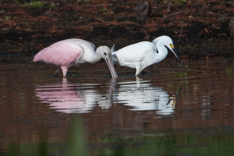 Spoonbill - Roseate and Egret - Snowy - Lake Toho - Kissimmee, FL