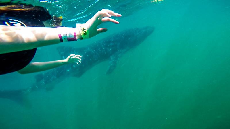 Whale Shark for Export 1078.jpg