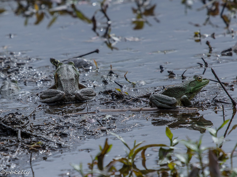5-11-16.  Two Bullfrogs pointedly ignoring each other with a turtle in the background.