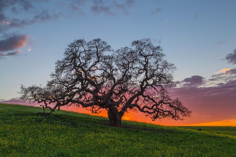My favorite oak tree.