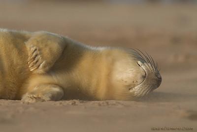 Grey seal/ Foca gris