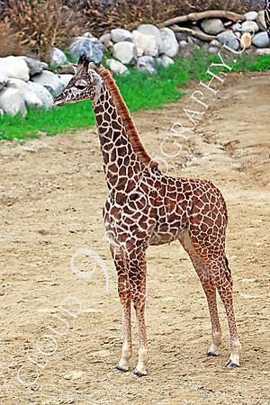 Giraffe Wildlife Photography
