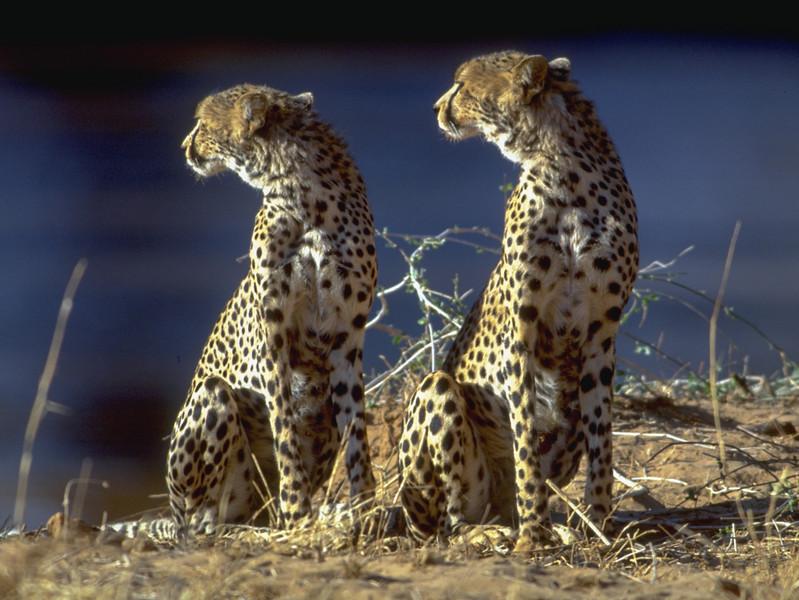 00985 Two Cheetahs.jpg