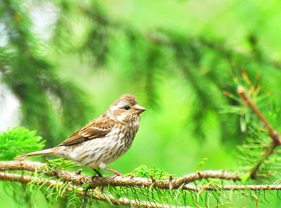 Female Purple Finch  Taken June 11, 2011 Elk Island Retreat Near Fort Saskatchewan, Alberta