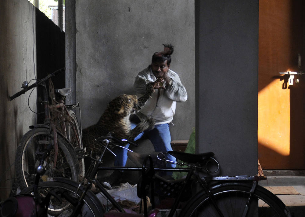 . A leopard (Panthera pardus) attacks and wounds Pintu Dey, an Indian laborer in a residential neighborhood of Silphukhuri area in Guwahati on January 7, 2012. Three people were seriously injured in the leopard attack before the feline was tranquilized and taken to Assam state zoo. Pintu Dey, in his 40s, is recovering in a hospital in India\'s northeastern state of Assam after being badly mauled outside his house in the attack. AFP PHOTO/STRSTRDEL/AFP/Getty Images