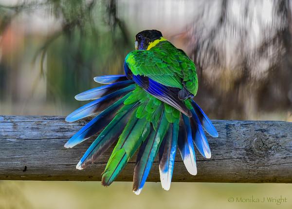 Harmoni Photography Western Ringneck Parrot (Twentyeight)