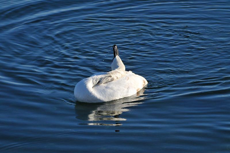 SleepingSwan.jpg