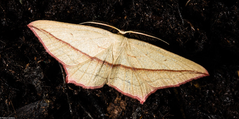 Blood-Vein Moth