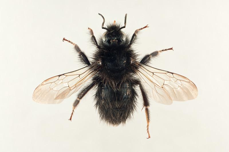 Bombus flavidus (melanistisk) -dronning