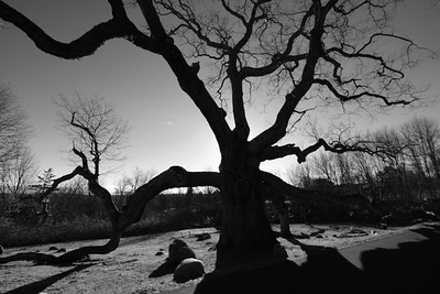 The Ancient Oak Of Granby