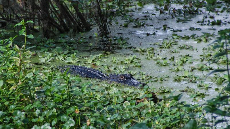 Small alligator at Circle B Bar