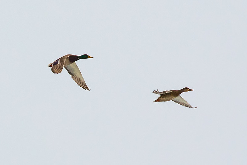 Mallard Ducks Return to Benson Marina