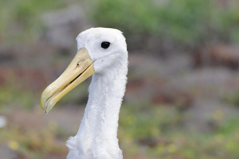 Galapagos Albatrosses